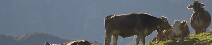 Fotos von Kühen (c_pichler - CC-BY-SA)